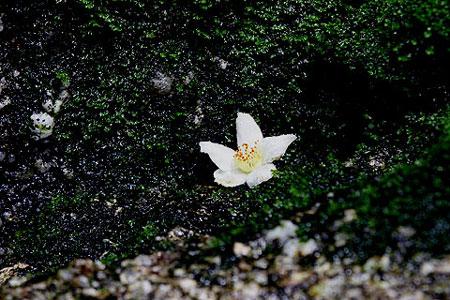01水辺に落ちたヒメシャラの花(白谷雲水峡)